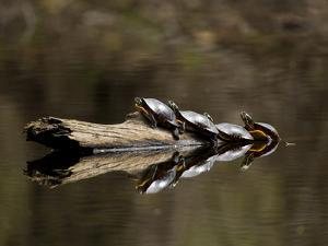 Eastern Painted Turtles, Farmington River, Tariffville, Connecticut, Usa by Jerry & Marcy Monkman