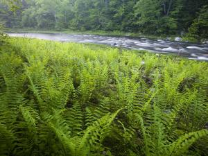Ferns and the West Branch of the Westfield River, Chesterfield, Massachusetts, USA by Jerry & Marcy Monkman