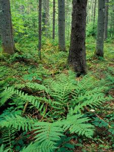 Ferns in the Understory of a Lowland Spruce-Fir Forest, White Mountains, New Hampshire, USA by Jerry & Marcy Monkman