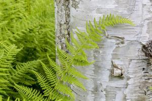 Ferns next to a paper birch tree, Reed, Maine by Jerry & Marcy Monkman