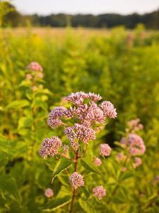Joe-Pye Weed, Bridgewater, Massachusetts, Usa by Jerry & Marcy Monkman