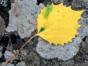 Leaf of a Bigtooth Aspen on Lichen and Granite, Howe Brook, Baxter State Park, Maine, USA by Jerry & Marcy Monkman