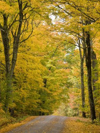 Leaves Fall from Sugar Maple Trees Lining a Dirt Road in Cabot, Vermont, Usa