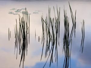 Lily pads and cattails grow in Gilson Pond, Monadanock State Park, New Hampshire, USA by Jerry & Marcy Monkman