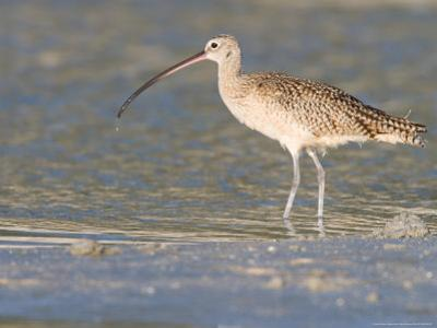 Long-Billed Curlew on North Beach at Fort De Soto Park, Florida, USA