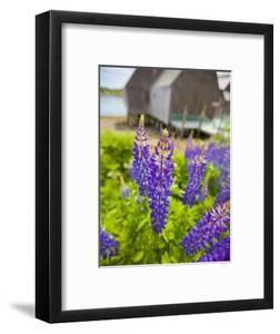 Lupines Bloom in Front of a Historic Fish Cannery in Lubec, Maine, Usa by Jerry & Marcy Monkman