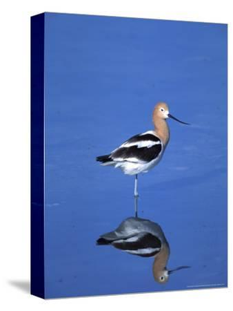 Male American Avocet in Saltwater Pool, Antelope Island State Park, Great Salt Lake, Utah, USA
