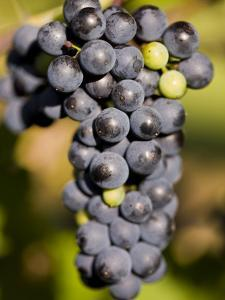 Marechal Foch Grapes at the Vineyard at Jewell Towne Vineyards, South Hampton, New Hampshire, USA by Jerry & Marcy Monkman