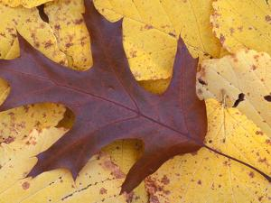 Northern Red Oak Leaf in Fall, Sandy Point Trail, New Hampshire, USA by Jerry & Marcy Monkman