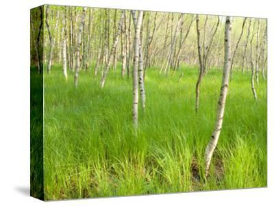 Paper Birch Trees on the Edge of Great Meadow, Near Sieur De Monts Spring, Acadia National Park