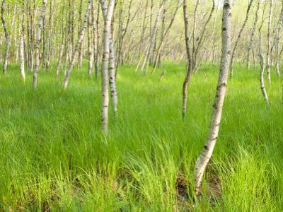 Paper Birch Trees on the Edge of Great Meadow, Near Sieur De Monts Spring, Acadia National Park by Jerry & Marcy Monkman