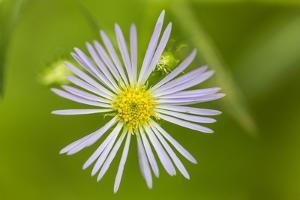 Purple-stemmed aster growing in Reed, Maine. by Jerry & Marcy Monkman