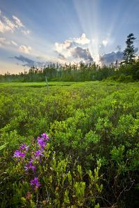 Rhodora Blooms in a Bog in New Hampshire's White Mountains by Jerry & Marcy Monkman
