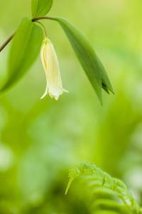 Sessile Bellwort in Forest, Durham, New Hampshire by Jerry & Marcy Monkman