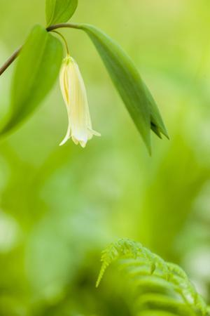 Sessile Bellwort in Forest, Durham, New Hampshire