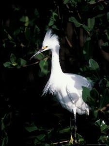 Snowy Egret at Ding Darling National Wildlife Refuge, Sanibel Island, Florida, USA by Jerry & Marcy Monkman