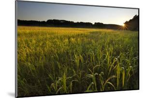 Sudan Grass Is Used as a Cover Crop, Northampton, Massachusetts by Jerry & Marcy Monkman