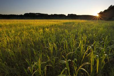 Sudan Grass Is Used as a Cover Crop, Northampton, Massachusetts