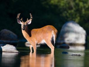 Whitetail Deer Buck in Katahdin Lake, Northern Forest, Maine, USA by Jerry & Marcy Monkman