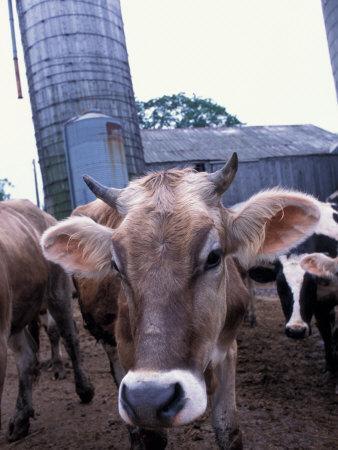 https://imgc.artprintimages.com/img/print/jersey-cow-at-the-hurd-farm-in-hampton-new-hampshire-usa_u-l-p25vwk0.jpg?p=0