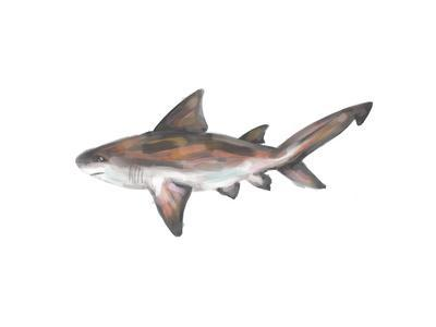 Bull Shark Single Painting