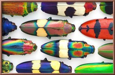 Jewel Beetles-Christopher Marley-Framed Photographic Print