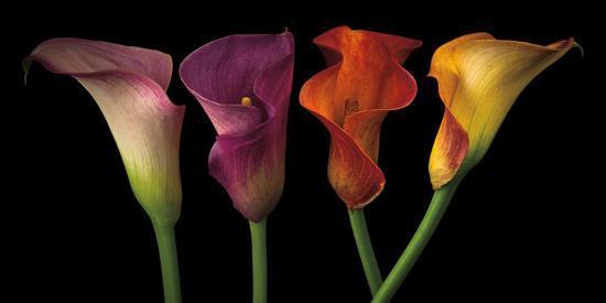 Jewel Calla Lilies-Assaf Frank-Photographic Print