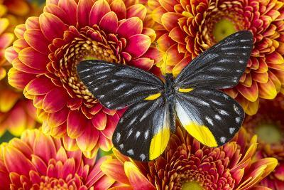 Jezebels Butterfly, Delias Species in the Pieridae Family-Darrell Gulin-Photographic Print