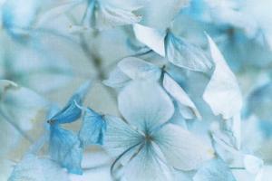 Hydrangea Flowers by Jill Ferry