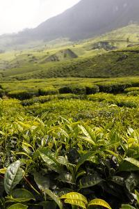 Scenic View of the Tea Plantations in Munnar by Jill Schneider