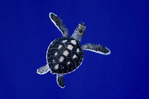 A Baby Green Sea Turtle, Chelonia Mydas, Swimming by Jim Abernethy