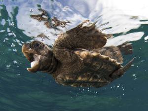 A Baby Loggerhead Sea Turtle, Caretta Caretta, Swimming at the Surface by Jim Abernethy