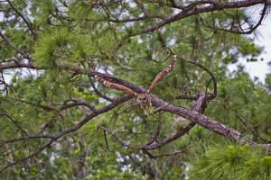 A Barred Owl Taking Flight from a Pine Tree by Jim Abernethy