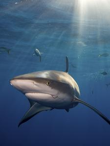 A Caribbean Reef Shark and Fish Swimming in Rays of Sunlight by Jim Abernethy