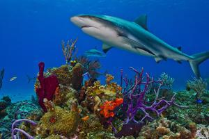 A Caribbean Reef Shark Swimming over a Reef by Jim Abernethy