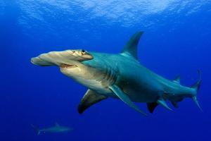 A Great Hammerhead Shark and a Caribbean Reef Shark in the Background by Jim Abernethy