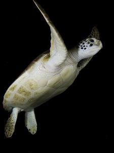 A Green Sea Turtle, Chelonia Mydas, Swimming at Night by Jim Abernethy