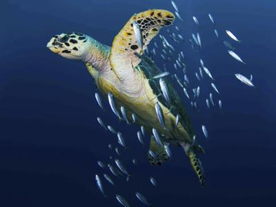 A Hawksbill Sea Turtle, Eretmochelys Imbricata, with Bait Fish by Jim Abernethy