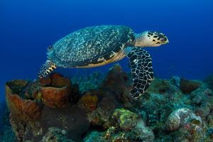 A Hawksbill Sea Turtle Swimming over a Reef by Jim Abernethy