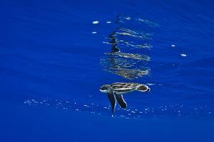 A Leatherback Sea Turtle Hatchling Swimming at the Water's Surface by Jim Abernethy