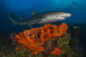 A Lemon Shark and Other Fishes Swimming over a Reef by Jim Abernethy