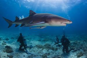 A Lemon Shark with Divers on a Reef by Jim Abernethy