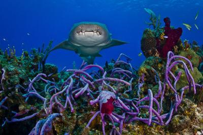 A Nurse Shark Swimming over a Reef by Jim Abernethy