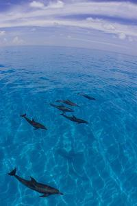 A Pod of Atlantic Spotted Dolphins, Stenella Frontalis by Jim Abernethy