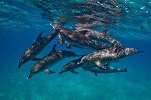A Pod of Atlantic Spotted Dolphins Swimming in Clear Water by Jim Abernethy