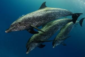 A Pod of Wild Atlantic Spotted Dolphins, Stenella Frontalis by Jim Abernethy