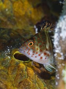 A Red Spotted Hawkfish Hiding Among Sponges by Jim Abernethy