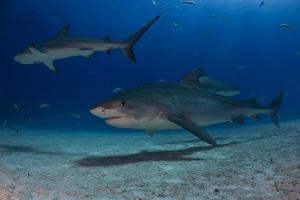 A Tiger Shark and Other Sharks and Fish Swimming Near the Sea Floor by Jim Abernethy