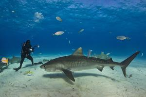A Tiger Shark Swimming at the Sea Floor Near a Diver by Jim Abernethy