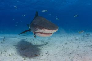 A Tiger Shark Swimming at the Sea Floor by Jim Abernethy